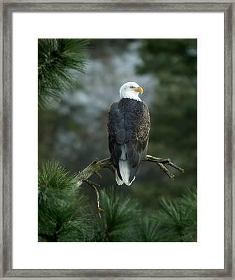 Bald Eagle In Tree Framed Print