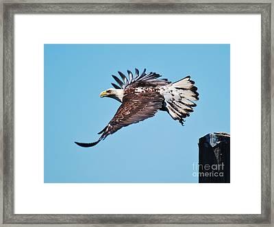 Bald Eagle In Ucluelet Framed Print