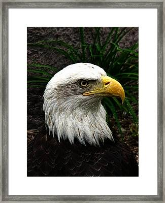 Bald Eagle Framed Print by Jeff Iverson