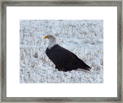 Bald Eagle  Framed Print by Kimberly Maiden