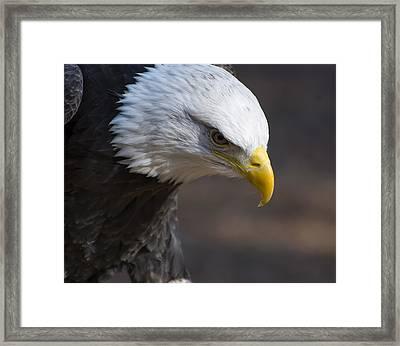 Bald Eagle Landing Framed Print by Chris Flees