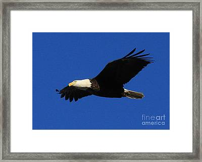 Framed Print featuring the photograph Bald Eagle Lock 14 by Paula Guttilla