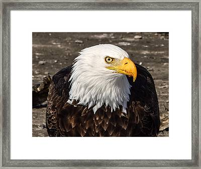 Bald Eagle Looking At You Framed Print