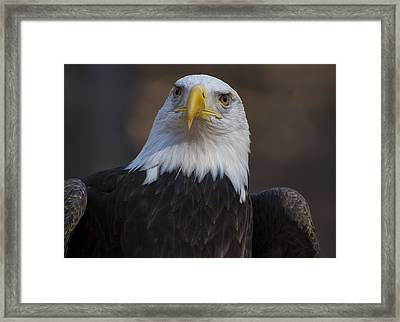 Bald Eagle Looking Right Framed Print by Chris Flees
