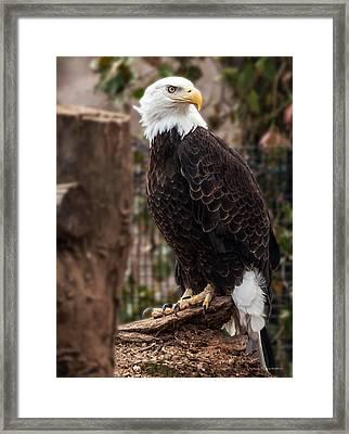 Bald Eagle Framed Print by Mark Papke