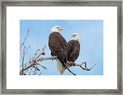Bald Eagle Mates Form A Heart Framed Print by Tony Hake
