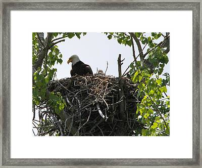 Bald Eagle Nesting Framed Print by Dan Sproul