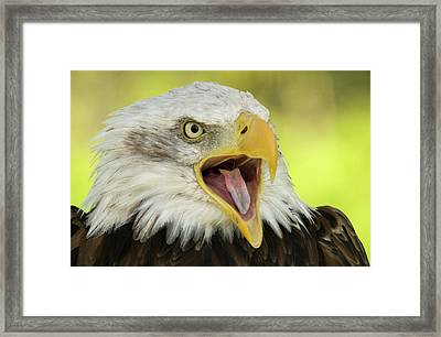 Bald Eagle Framed Print by Nigel Downer