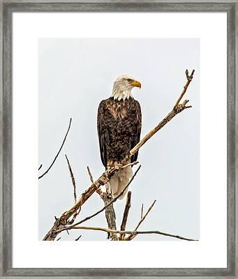 Bald Eagle On A Branch Framed Print
