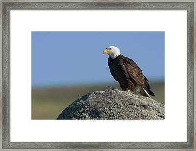 Bald Eagle On Boulder Framed Print by Ken Archer