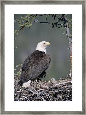 Bald Eagle On Nest With Chick Alaska Framed Print by Michael Quinton
