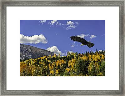 Bald Eagle Over The Aspen Framed Print