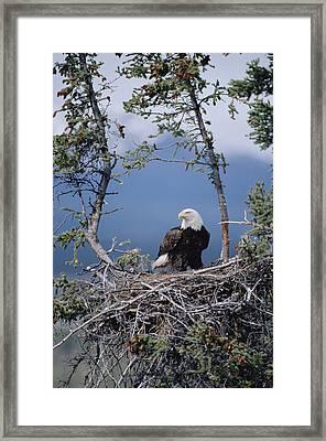 Bald Eagle Parent On Nest Alaska Framed Print