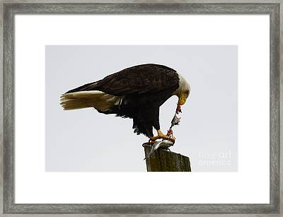 Bald Eagle Part Of Nature Framed Print by Bob Christopher