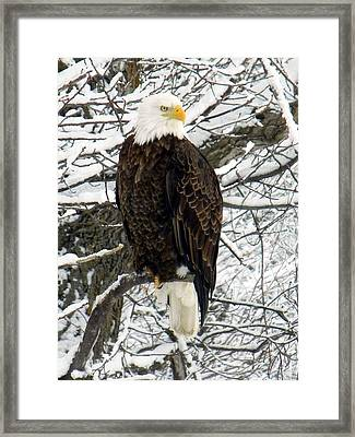 Framed Print featuring the photograph Bald Eagle by Penny Meyers