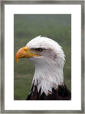 Bald Eagle Portrait Framed Print by Brian Chase