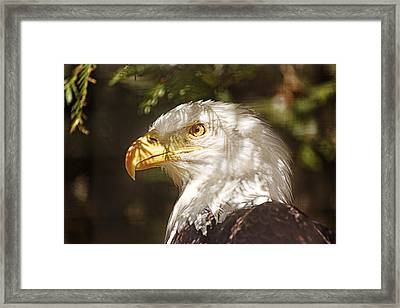 Framed Print featuring the photograph Bald Eagle Portrait  by Brian Cross
