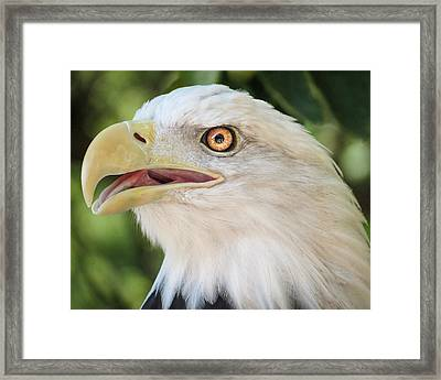 Framed Print featuring the photograph American Bald Eagle Portrait - Bright Eye by Patti Deters