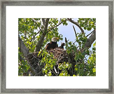 Bald Eagle Pose Framed Print by Dan Sproul