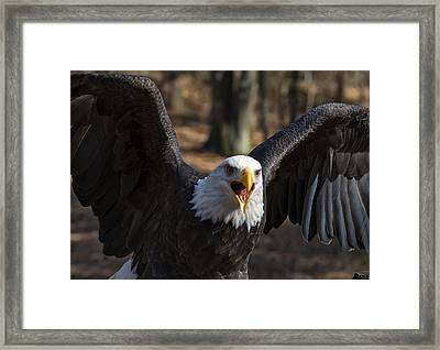 Bald Eagle Protecting Its Meal Framed Print by Chris Flees