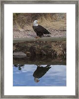 Bald Eagle Reflection Framed Print by Perspective Imagery