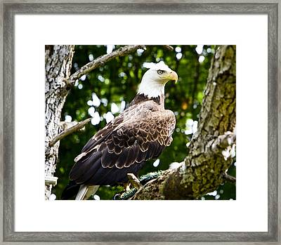 Framed Print featuring the photograph Bald Eagle by Ricky L Jones