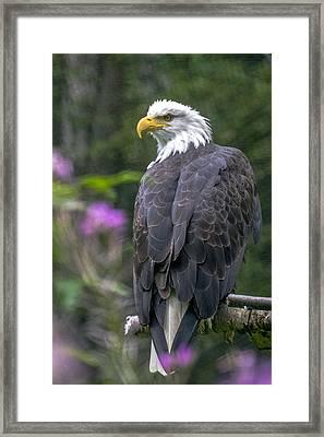 Bald Eagle Framed Print by Saya Studios