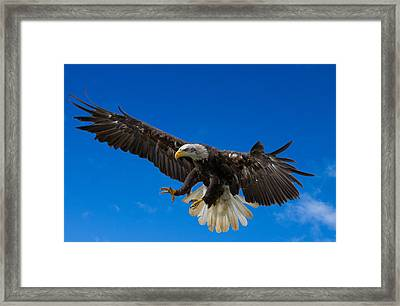 Bald Eagle Framed Print by Scott Carruthers