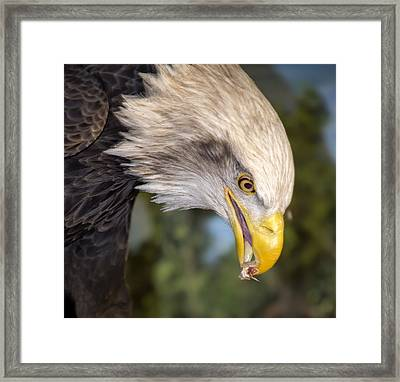 Bald Eagle Snacks Framed Print by Bill Tiepelman