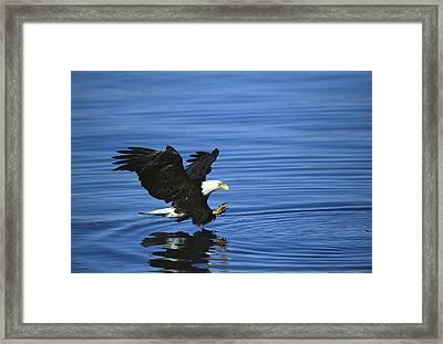 Bald Eagle Striking Kenai Peninsula Framed Print