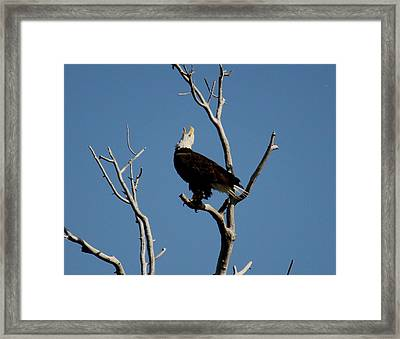 Bald Eagle Talking Framed Print