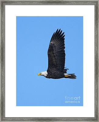 Bald Eagle Vertical 2 Framed Print by Sharon Talson