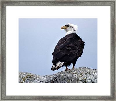 Bald Eagle Watching Framed Print