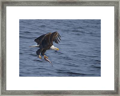 Bald Eagle With A Fish Framed Print