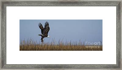 Bald Eagle With Bird In Talons Framed Print