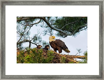 Bald Eagle With Eaglets  Framed Print