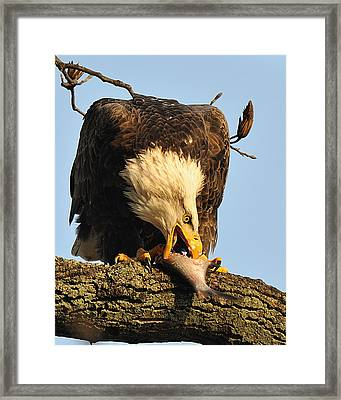 Bald Eagle With Fish 2 Framed Print by Angel Cher