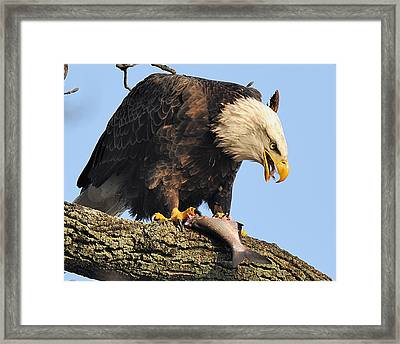 Bald Eagle With Fish Framed Print by Angel Cher