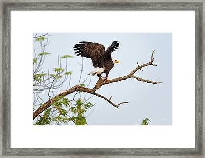 Bald Eagle With Fish Framed Print by Everet Regal