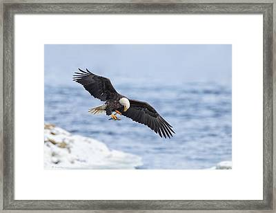 Bald Eagle With Prey Framed Print by Daniel Behm