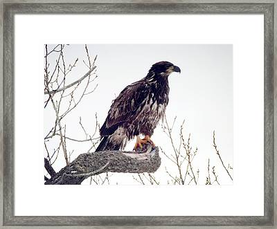 Framed Print featuring the photograph Bald Eagle by Zinvolle Art