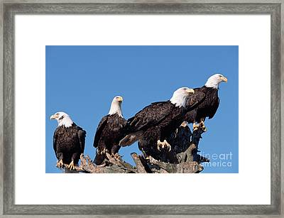Bald Eagles Along Shore Alaska Framed Print by