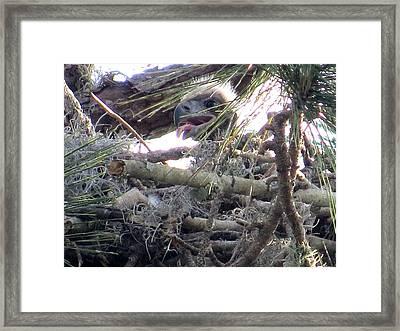 Bald Eagles Chick Framed Print by Zina Stromberg