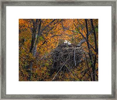 Bald Eagles Nest In Fall Framed Print