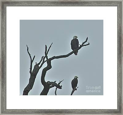 Bald Eagles  Framed Print
