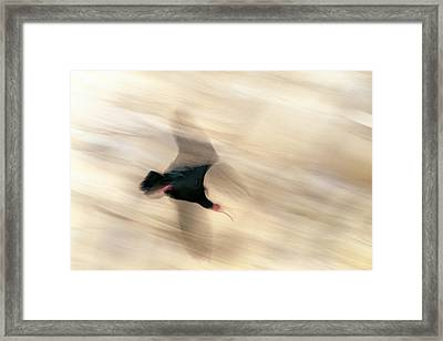 Bald Ibis Framed Print