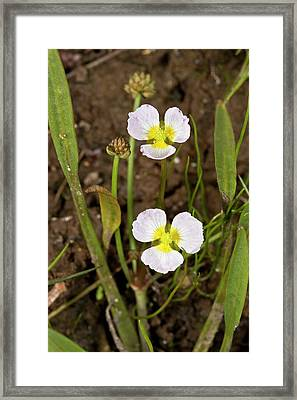 Baldellia Ranunculoides In Flower Framed Print by Bob Gibbons