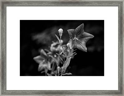 Balloon Flower  Framed Print