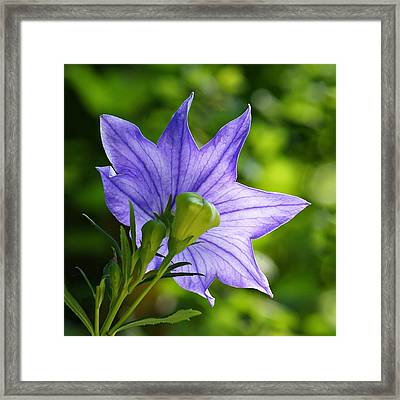 Balloon Flower - Magic Of Light Framed Print by Nikolyn McDonald