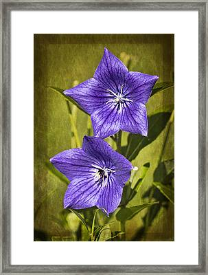 Balloon Flower Framed Print by Marcia Colelli